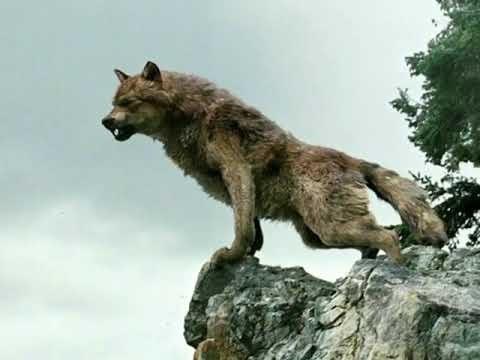 Волк Сумерки картинки   красивая подборка010