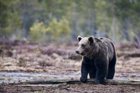Картинки для декупажа медведи   классные002