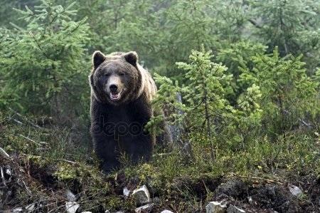 Картинки для декупажа медведи   классные005