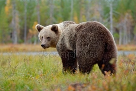Картинки для декупажа медведи   классные016