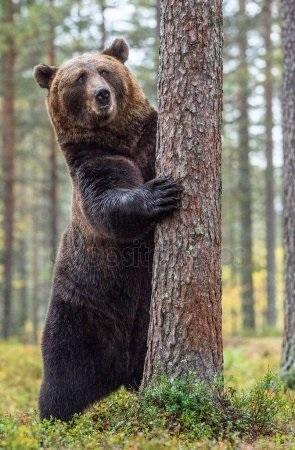 Картинки для декупажа медведи   классные017