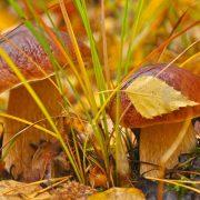 Картинки на рабочий стол осень в лесу грибы016