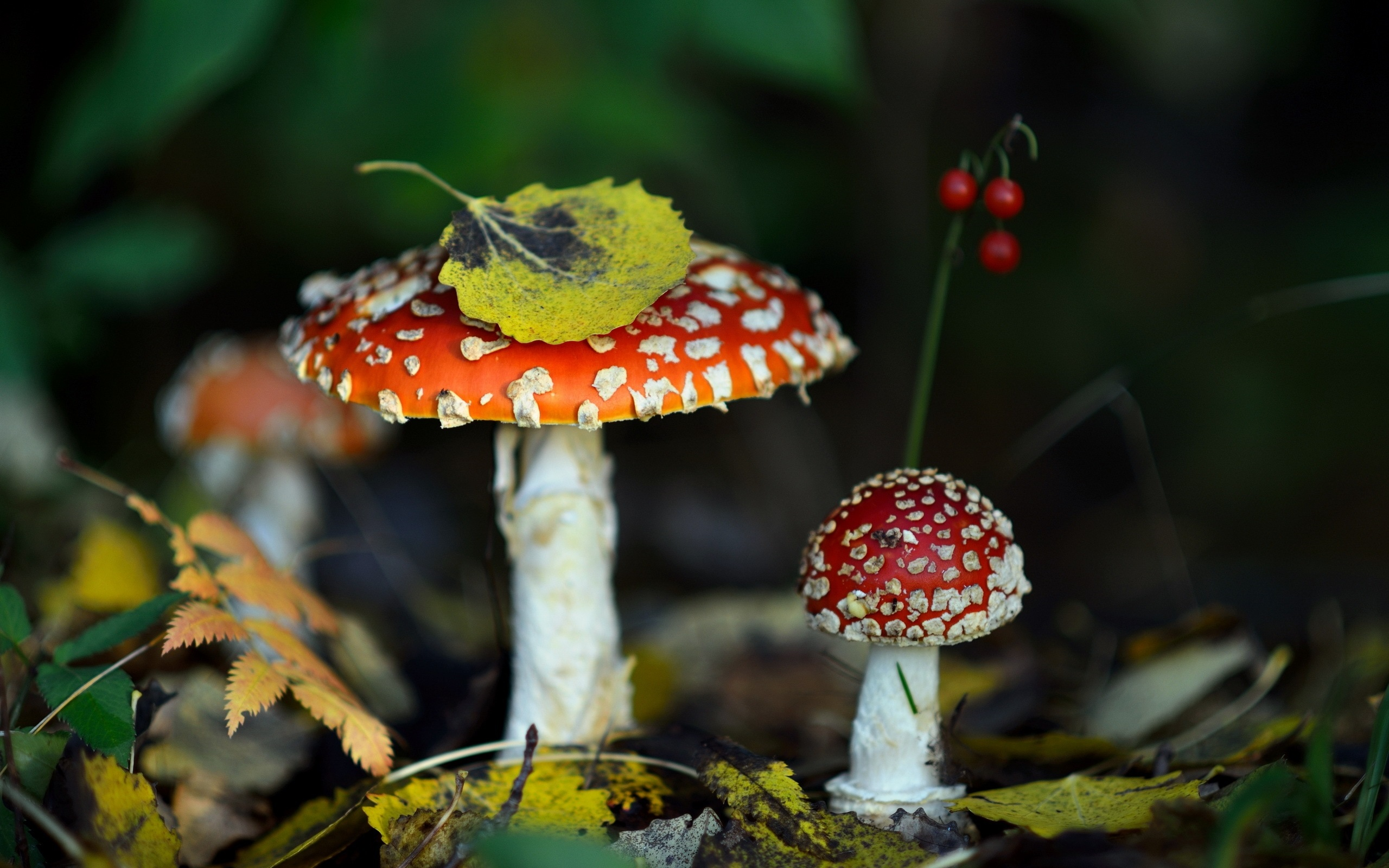 картинки на рабочий стол грибы мухоморы сердце