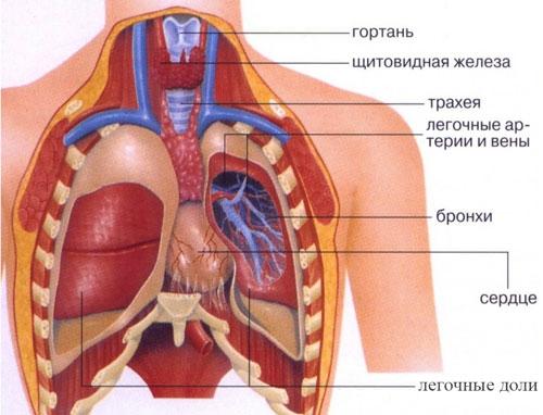 Картинки расположение органов человека (10)