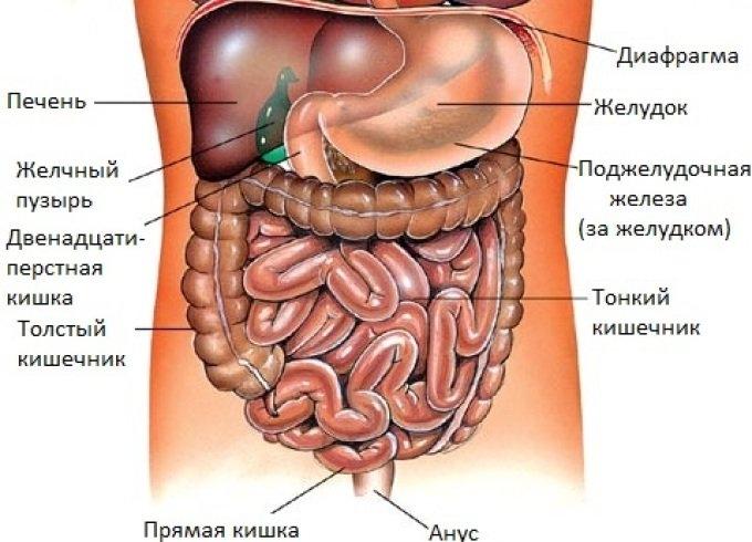 Картинки расположение органов человека (14)