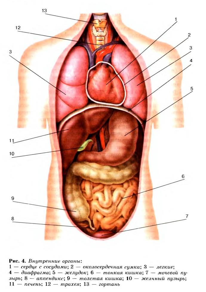 Органи человека в картинках