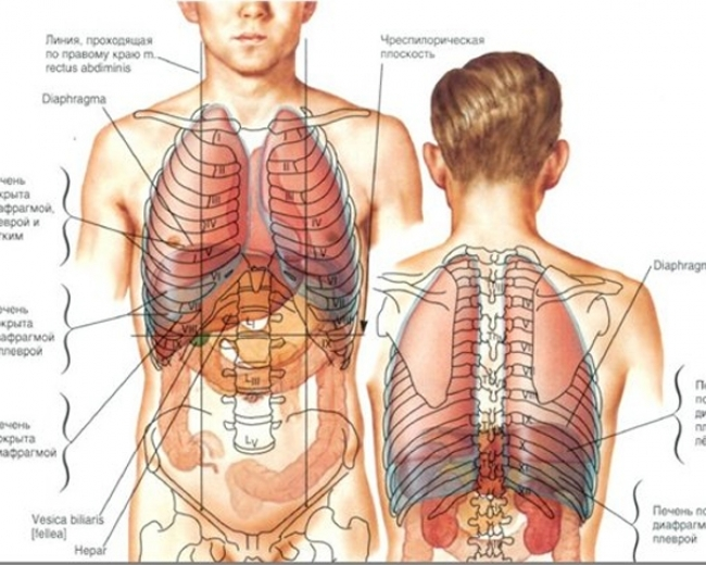 Картинки расположение органов человека (16)