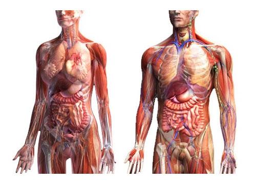Картинки расположение органов человека (18)