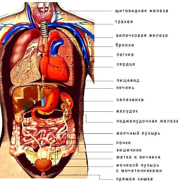 Картинки расположение органов человека (2)