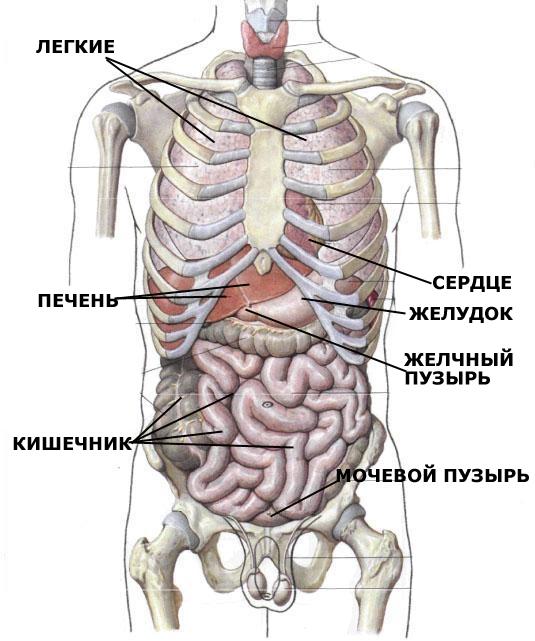 Картинки расположение органов человека (20)