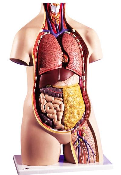 Картинки расположение органов человека (21)