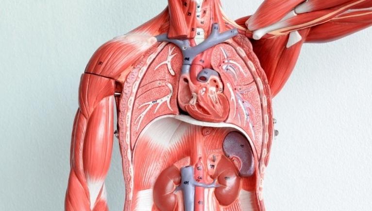 Картинки расположение органов человека (22)