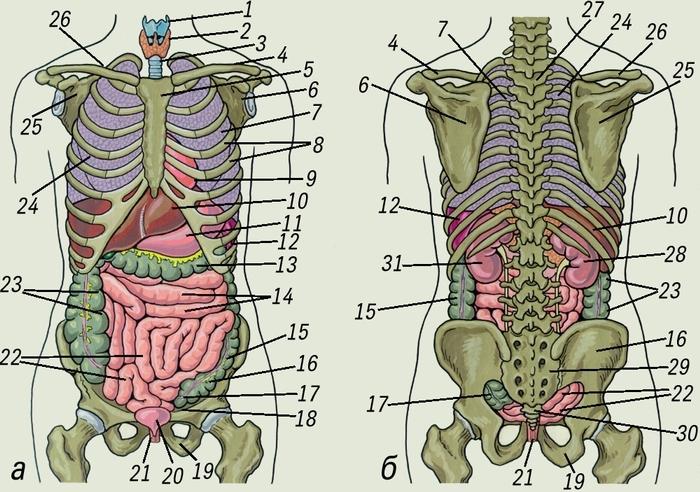 Картинки расположение органов человека (25)