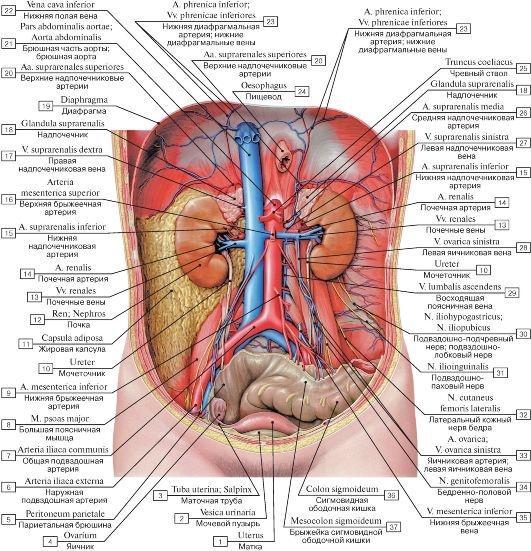 Картинки расположение органов человека (3)