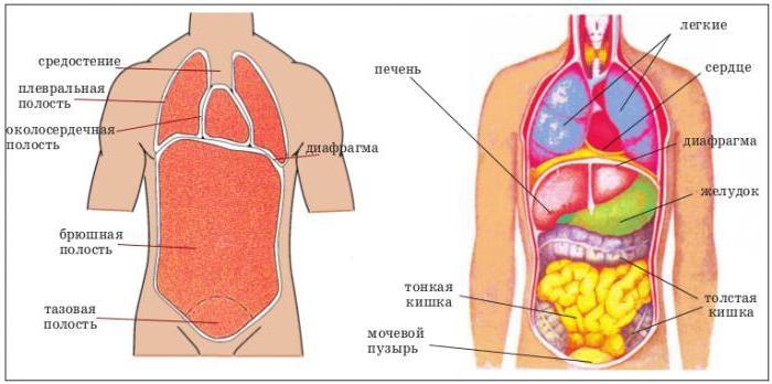 Картинки расположение органов человека (6)