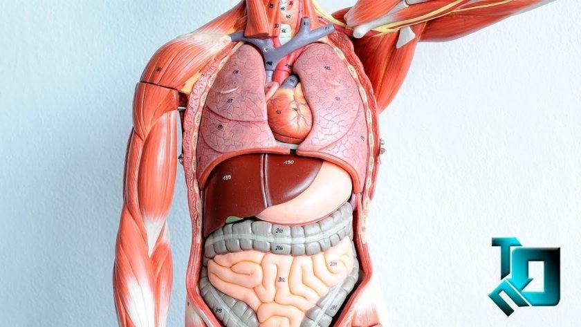 Картинки расположение органов человека (8)