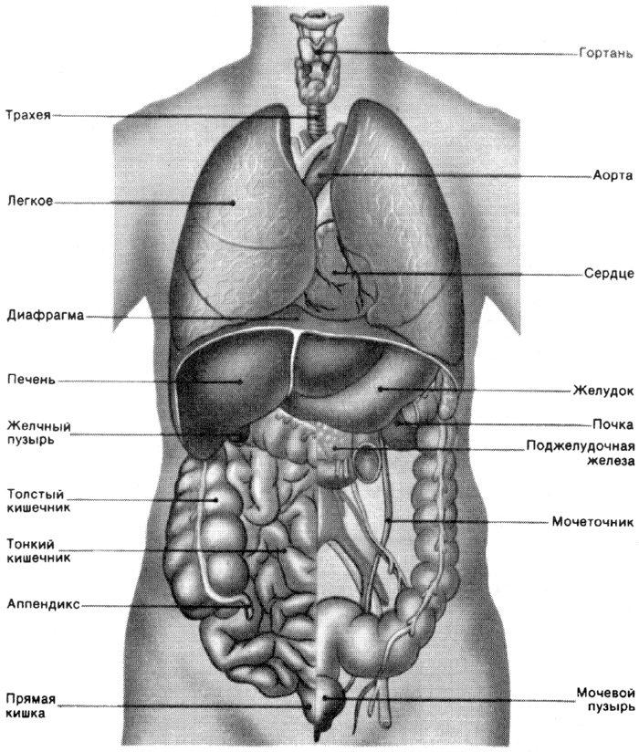 Картинки расположение органов человека (9)