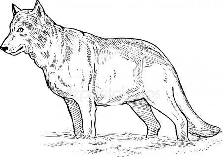 Картинки с волками для срисовки – красивые рисунки020