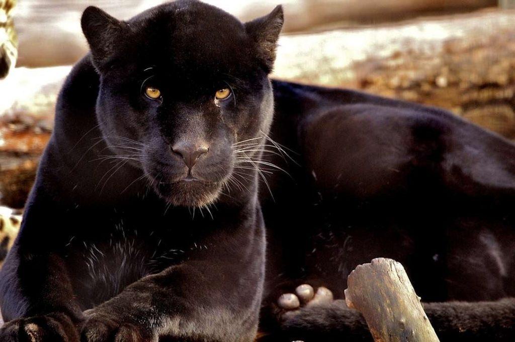 Красивые картинки пантеры, открытку онлайн