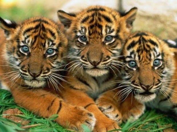 Картинки тигра скачать   красивая подборка001