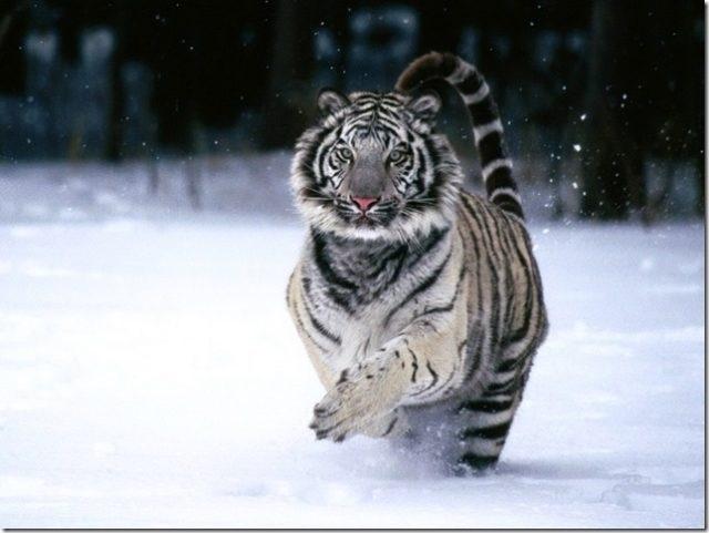 Картинки тигра скачать   красивая подборка003