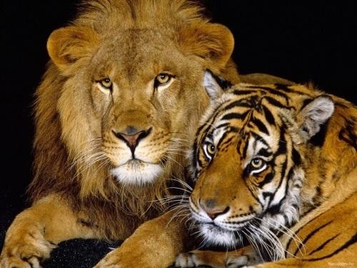 Картинки тигра скачать   красивая подборка004