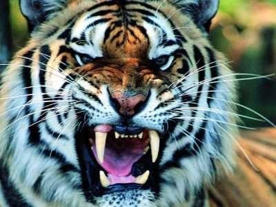 Картинки тигра скачать   красивая подборка007