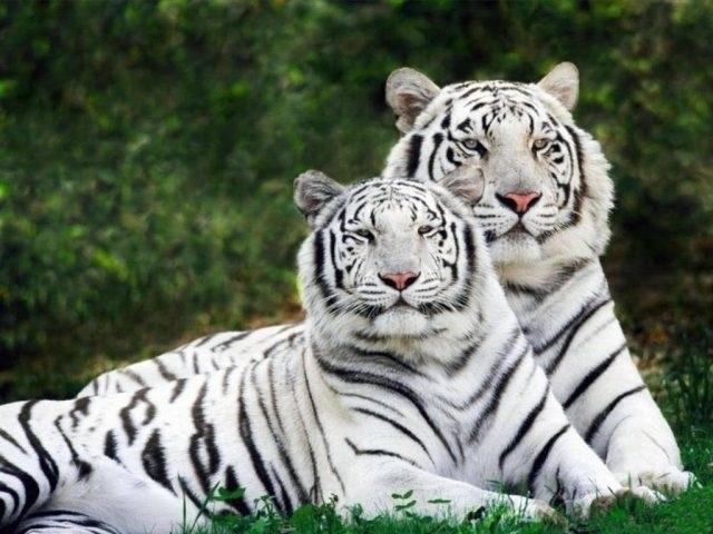 Картинки тигра скачать   красивая подборка008