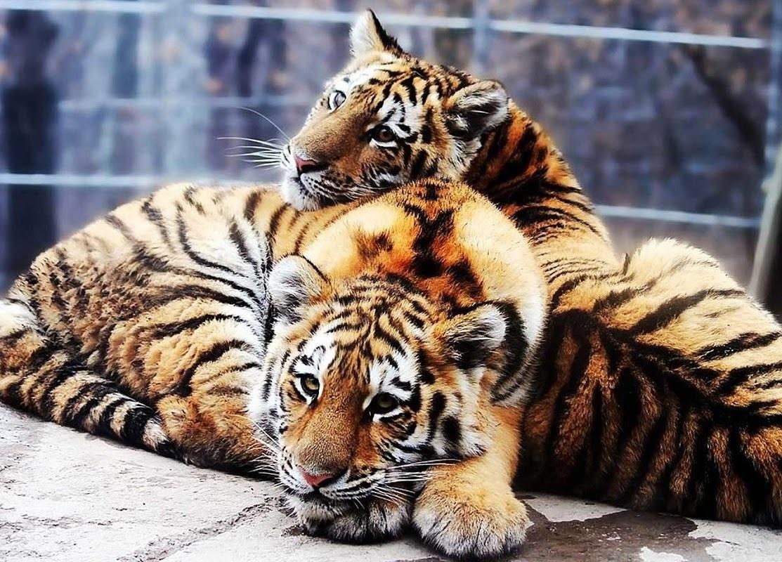 Картинки тигра скачать   красивая подборка010