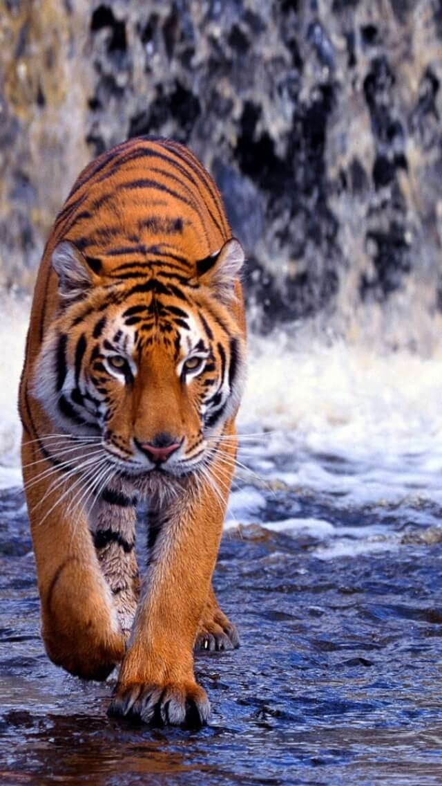 Картинки тигра скачать   красивая подборка012
