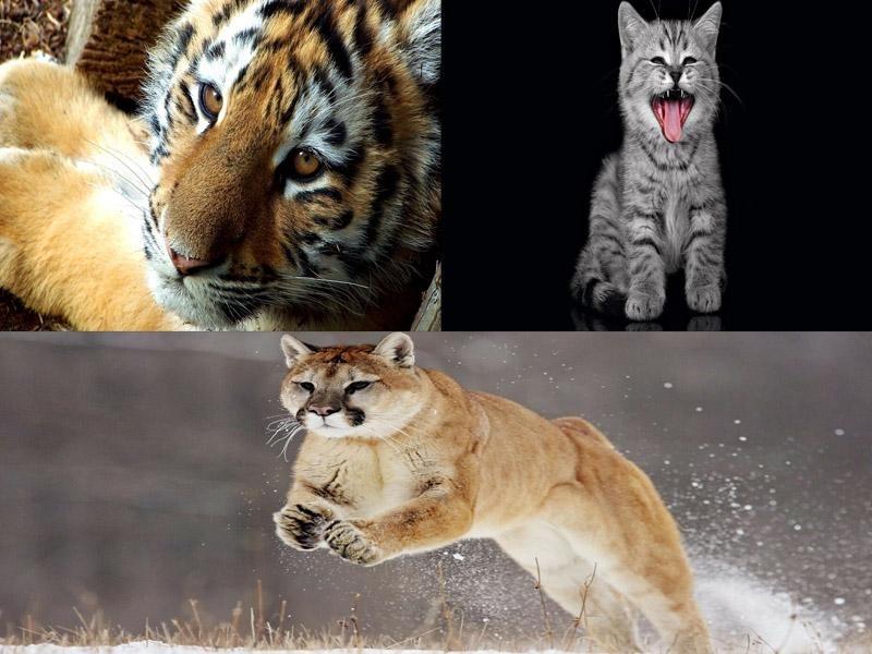 Картинки тигра скачать   красивая подборка015