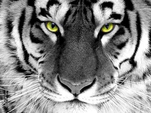 Картинки тигра скачать   красивая подборка016