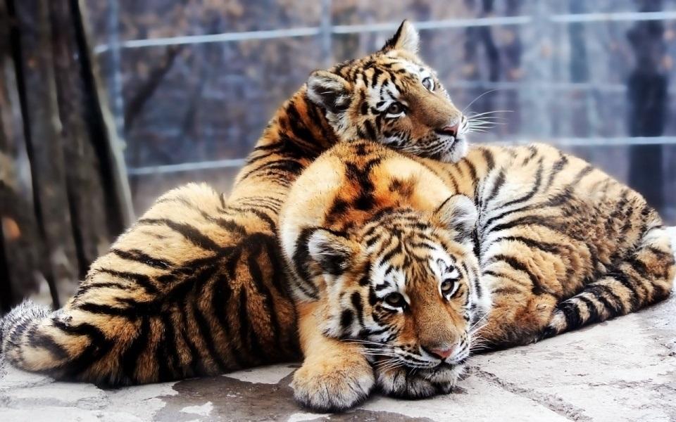 Картинки тигра скачать   красивая подборка018