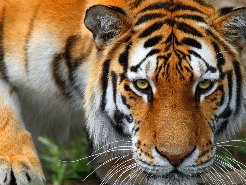 Картинки тигра скачать   красивая подборка019