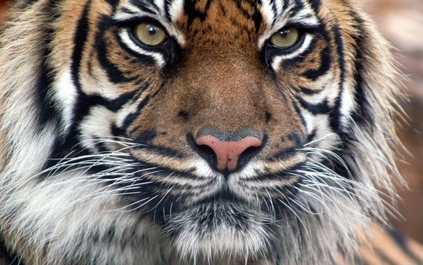 Картинки тигра скачать   красивая подборка021