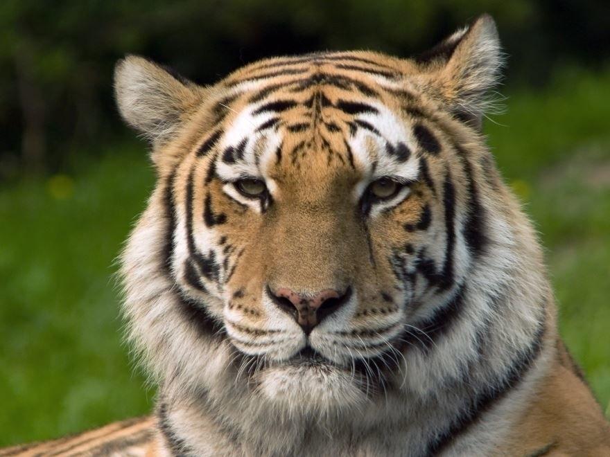 Картинки тигра скачать   красивая подборка022