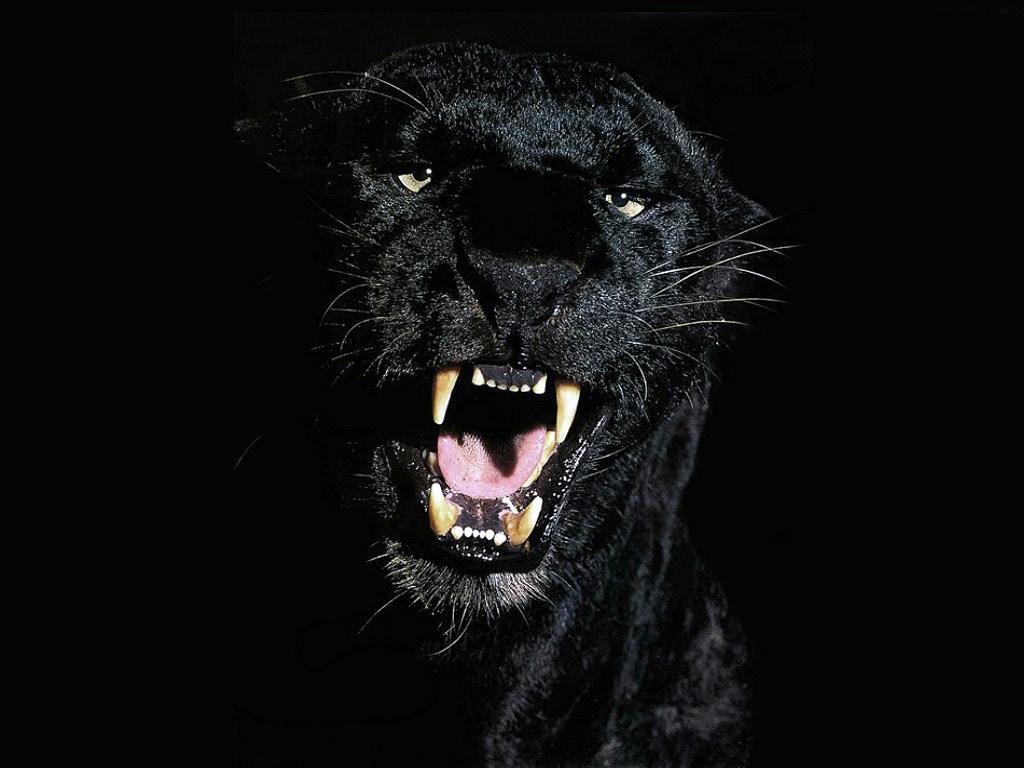 Картинки черная пантера на рабочий стол001