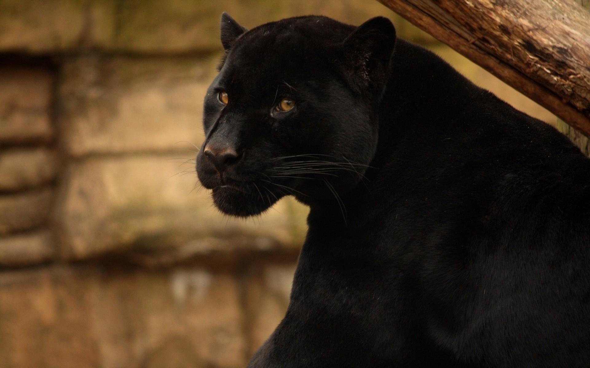 картинки с изображением черной пантеры люди по-настоящему