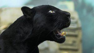 Картинки черная пантера на рабочий стол012