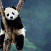 Панда картинки на рабочий стол021
