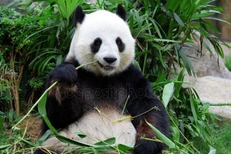 Панда скачать фото001