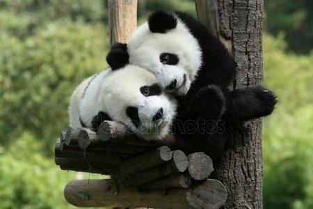 Панда скачать фото002