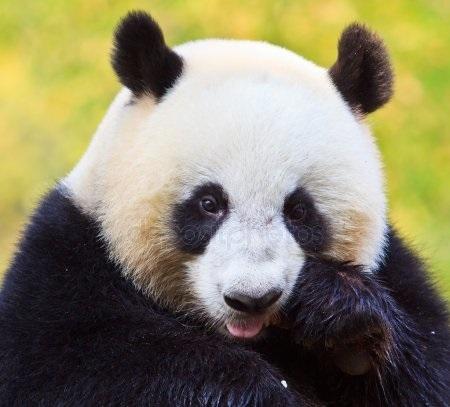 Панда скачать фото004