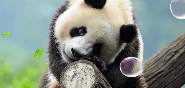 Панда скачать фото008