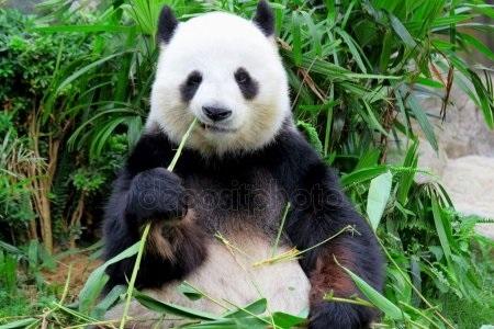 Панда скачать фото010
