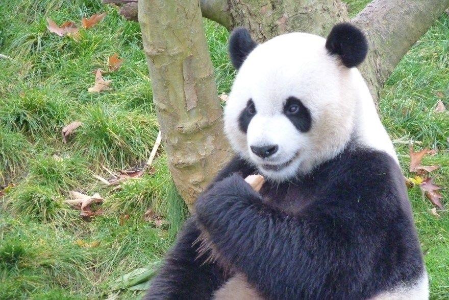 Панда скачать фото013