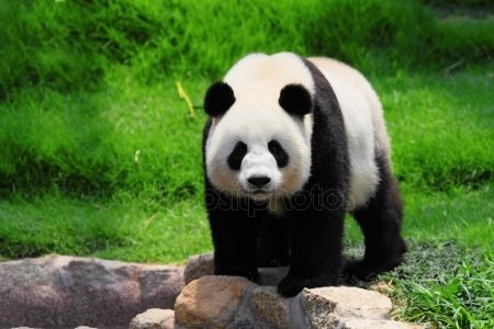 Панда скачать фото015