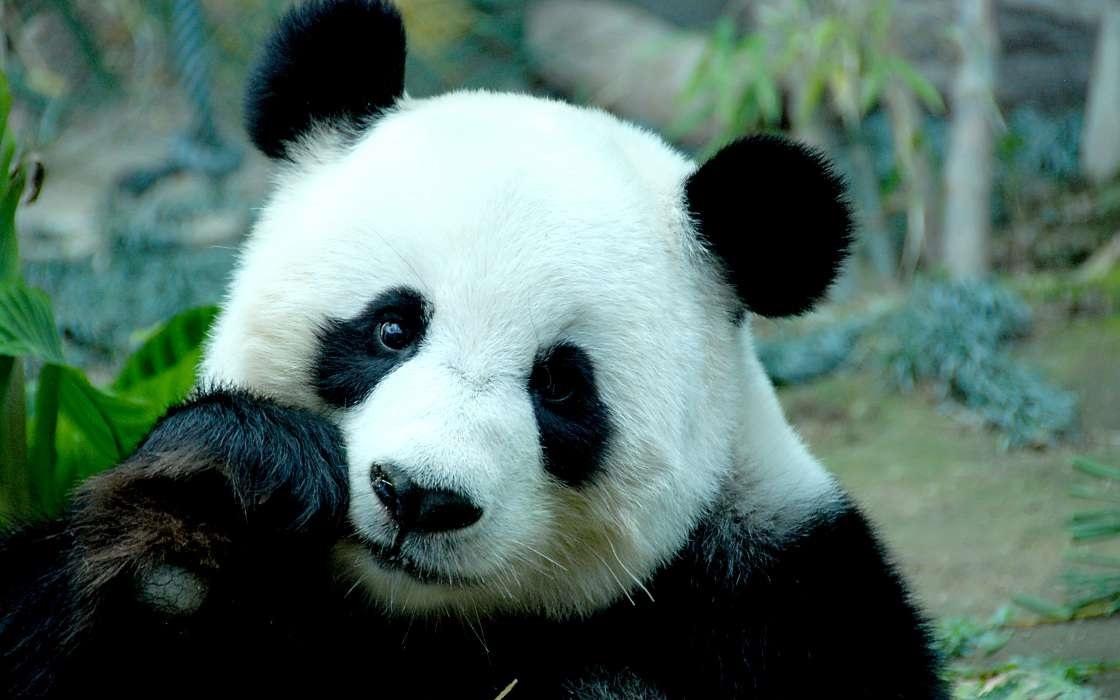 Панда скачать фото018