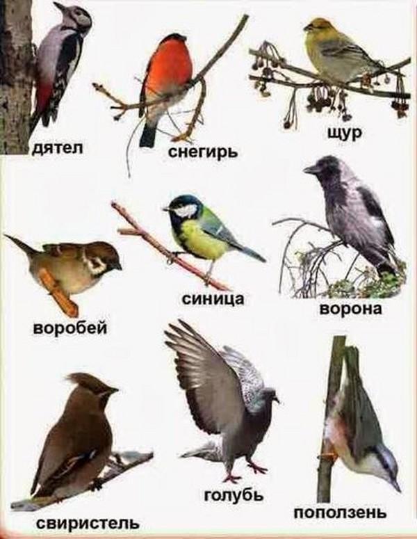 Птицы в картинках с названиями и фото020