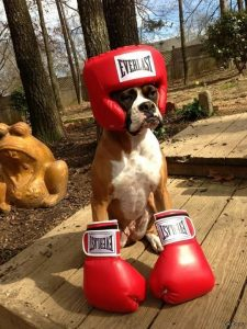 Боксер с днем рождения открытки025